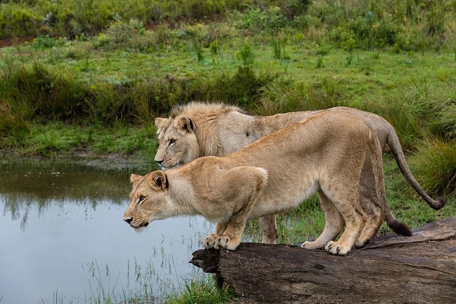 Lions Ready to Pounce