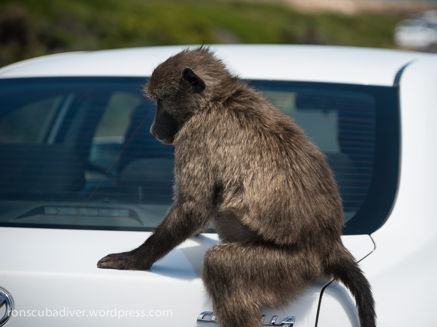 Baboon and Toyota